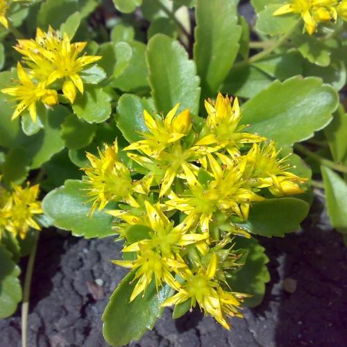 rosenrot (1)